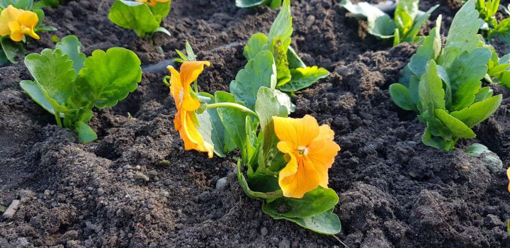 pomarańczowe kwiatki na rondzie Hanki Bielickiej