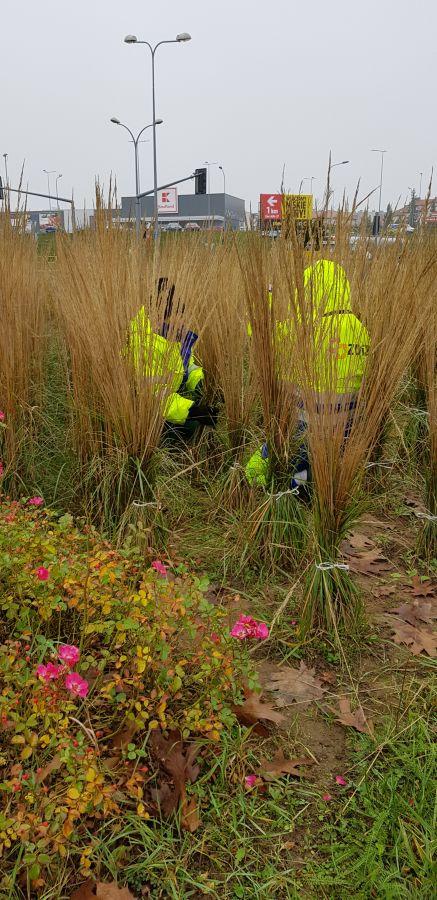 wiązanie traw ozdobnych na rondzie