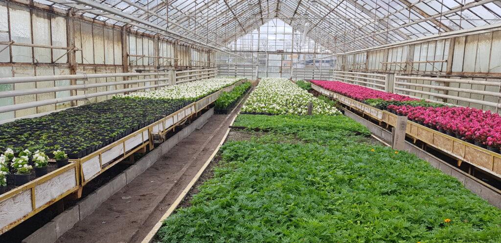 begonia na produkcji ogrodniczej