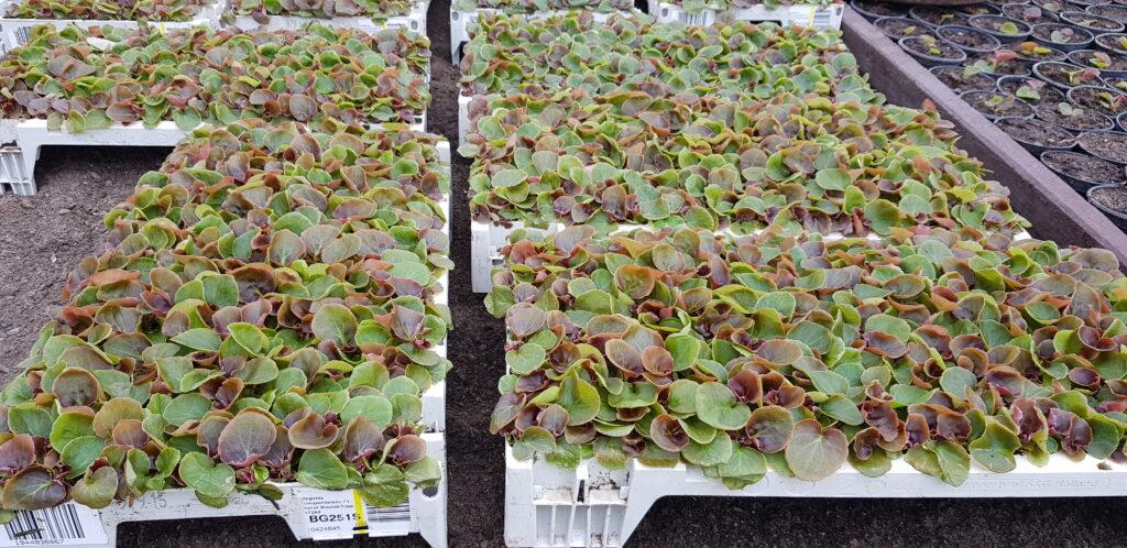 przygotowanie do rozsady begonii