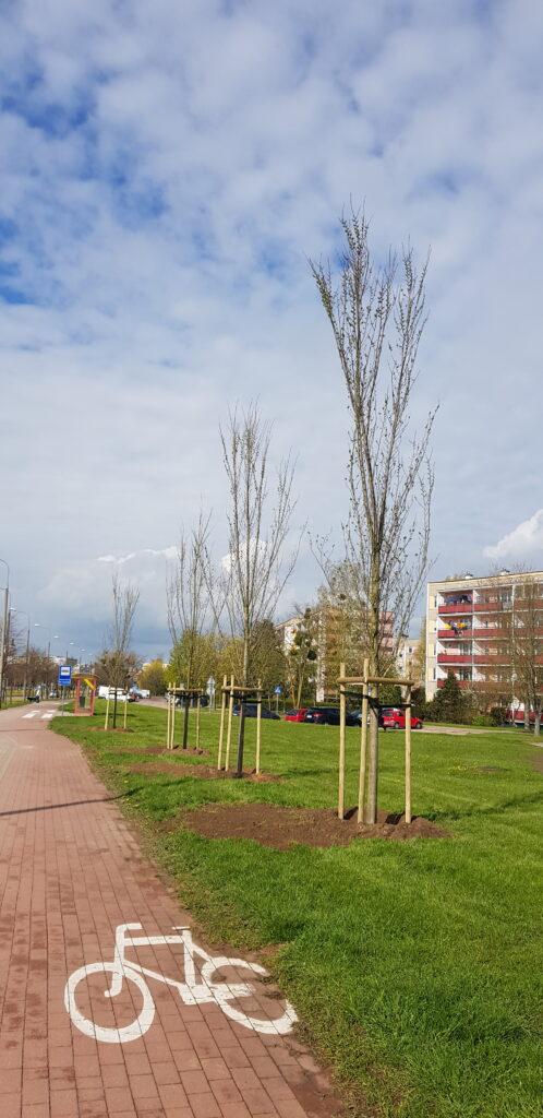 nowe nasadzenia drzew Aleja Piłsudskiego