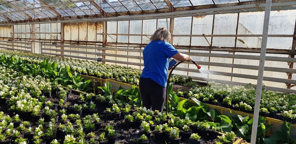 podlewanie kwiatów na produkcji ogrodniczej